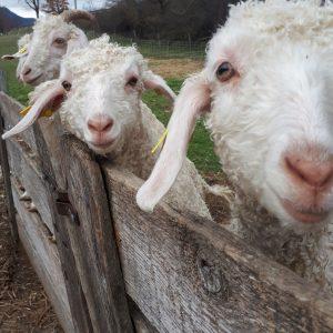 26 - 1 Portrait chèvres